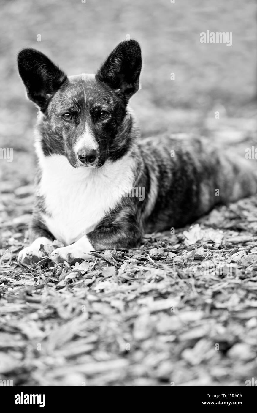 Retrato animal vigilante orejas perro cace para vigilar afilado Hound Dog pedigree Foto de stock