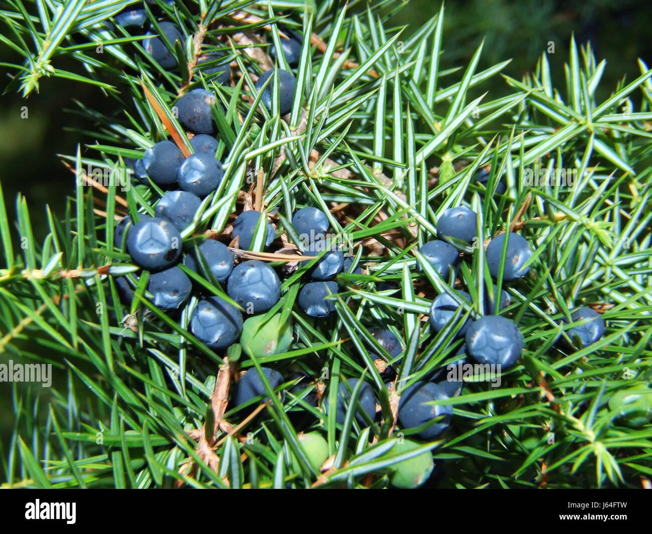 Enebro bayas de enebro azul azul cerca de macro macro Vista cercana de admisión Foto de stock