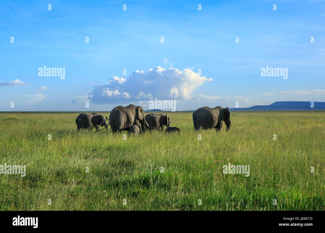 Un elefante africano matriarca conduce su rebaño en la Sabana en busca de alimento o agua en un clásico Imagen De Stock