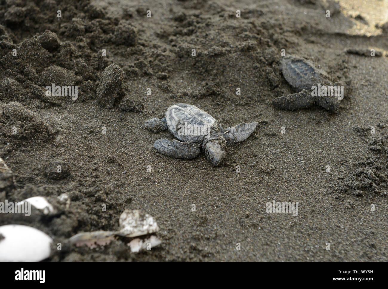 Las crías de tortuga golfina (Lepidochelys olivacea) son liberados en el Refugio de Vida Silvestre Punta Mala Imagen De Stock