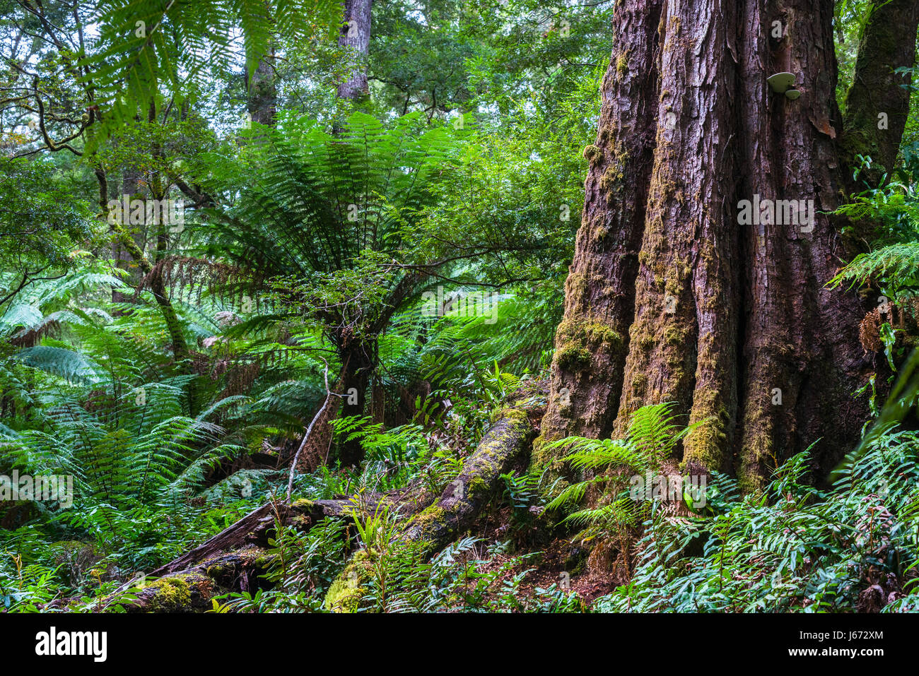 Dicksonia antarctica rain forest en Melba Gully State Park, el Parque Nacional Gran Otway, Victoria, Australia. Imagen De Stock