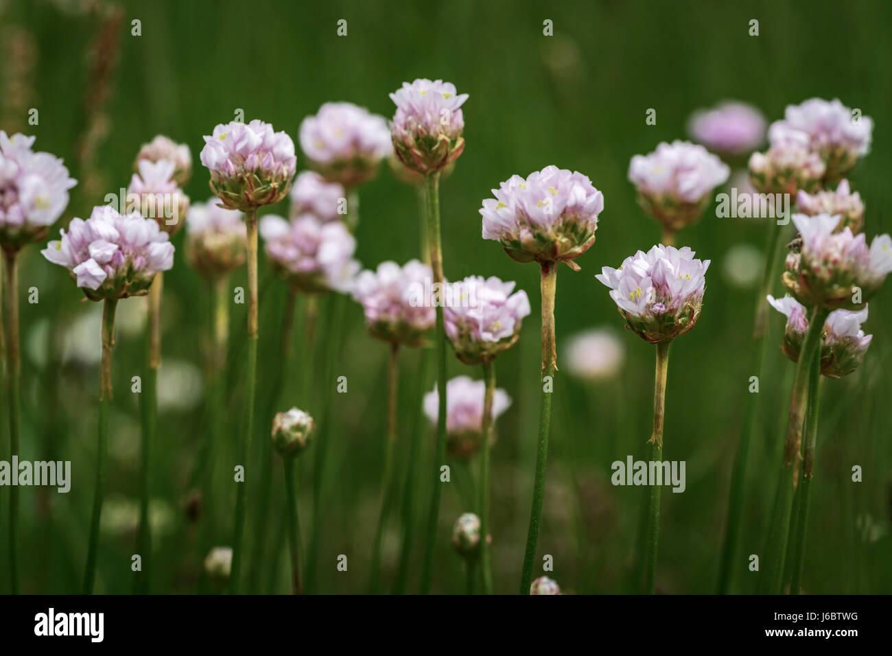 Fotografía artística: Macrophotography de flores de trébol violeta contra el fondo verde Foto de stock