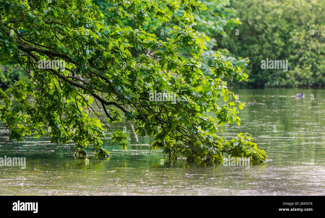 Concepto tranquilo. Árbol caído más sucio y descansando en el agua estancada de un lago. Imagen De Stock
