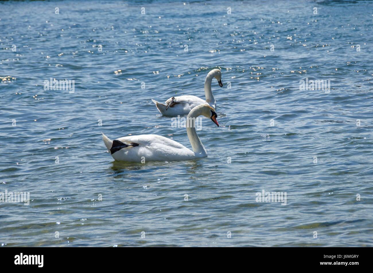 Cisnes separados - heartbreak Imagen De Stock