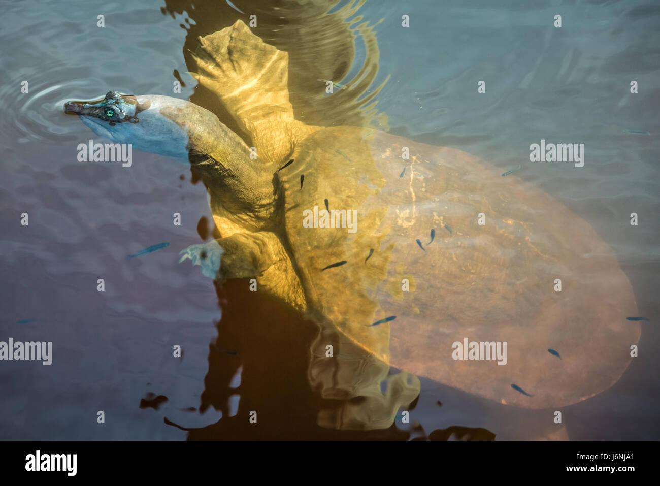 Una tortuga de caparazón blando de Florida (Apalone ferox) surgen en un canal cerca de Ponte Vedra Beach. (Ee.Uu.) Imagen De Stock