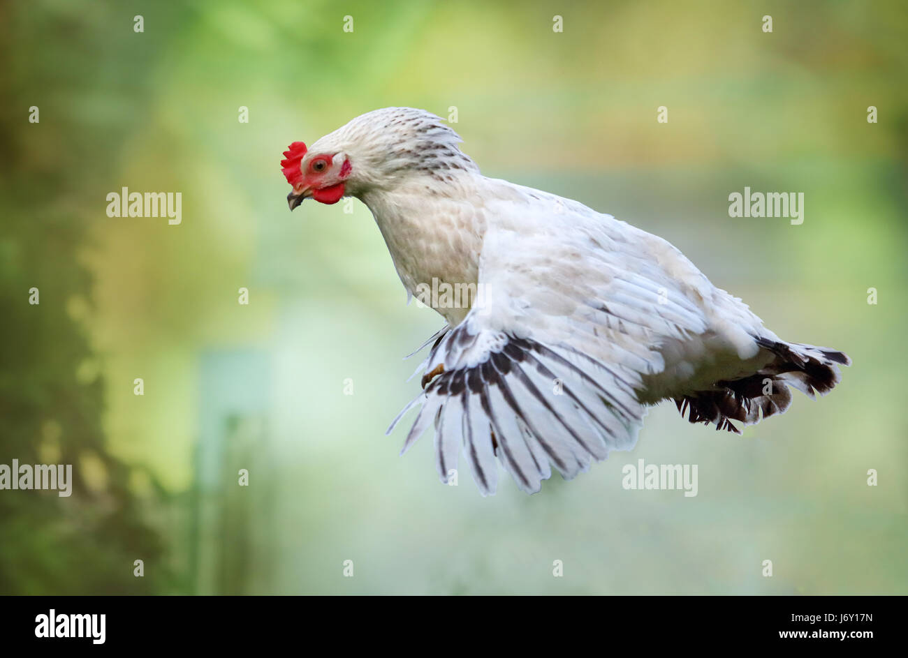 Pollo volando en la naturaleza, gallina Fotografía de stock - Alamy