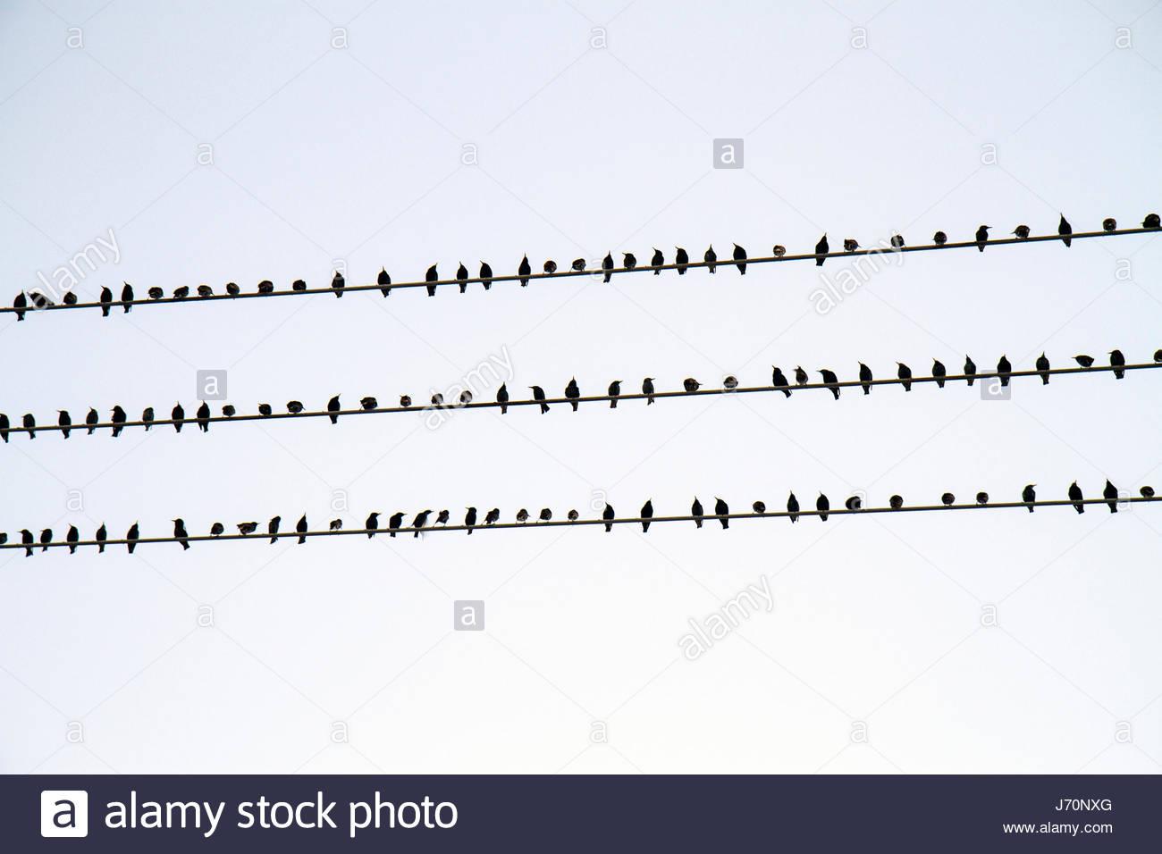 Miami Beach, Florida, pájaros posado polo teléfono cable comportamiento patrón fin Foto de stock