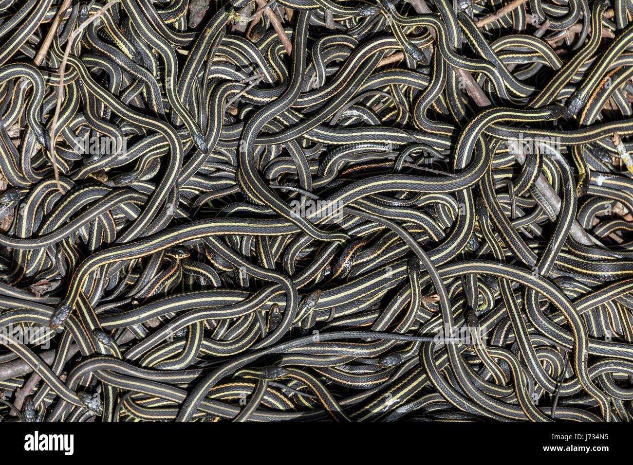 Cara roja liga serpientes reunidos en el ritual de apareamiento anual en el Narcisse Snake guaridas, Narcisse, Manitoba, Imagen De Stock