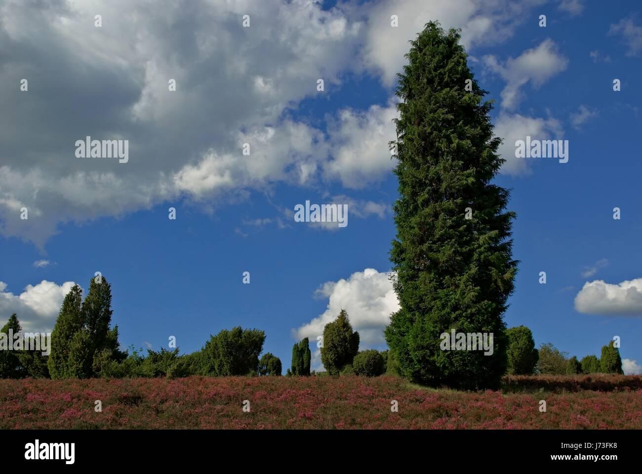 Conservación de la naturaleza heath juniper tree árboles para vacaciones vacaciones Foto de stock