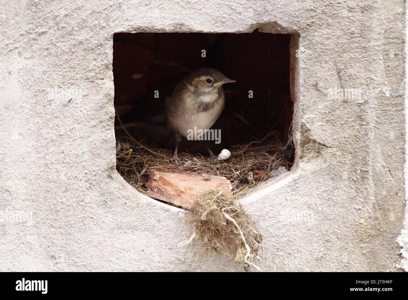 Aves anidan aves cantando-bird bobolinks wagtail zancudos aves anidan aves feed Foto de stock