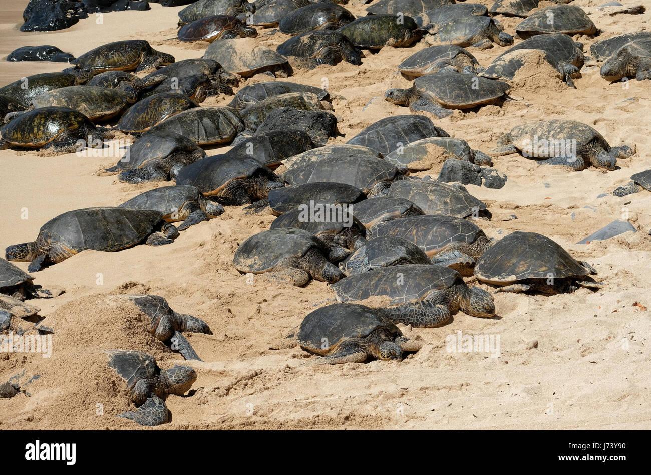 Tortugas verdes (Chelonia mydas) descansando en la playa de Ho'okipa Beach Park, Paia, Maui, Hawaii. Imagen De Stock