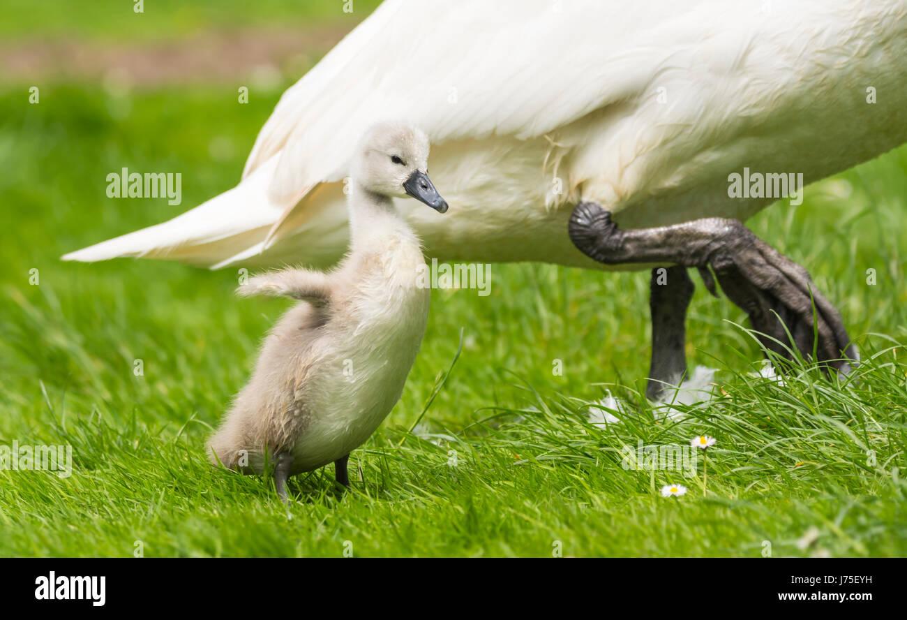 Cygnet. Solo Cygnet pie está protegido por un adulto Swan (Cygnus olor) a finales de la primavera en West Sussex, Imagen De Stock