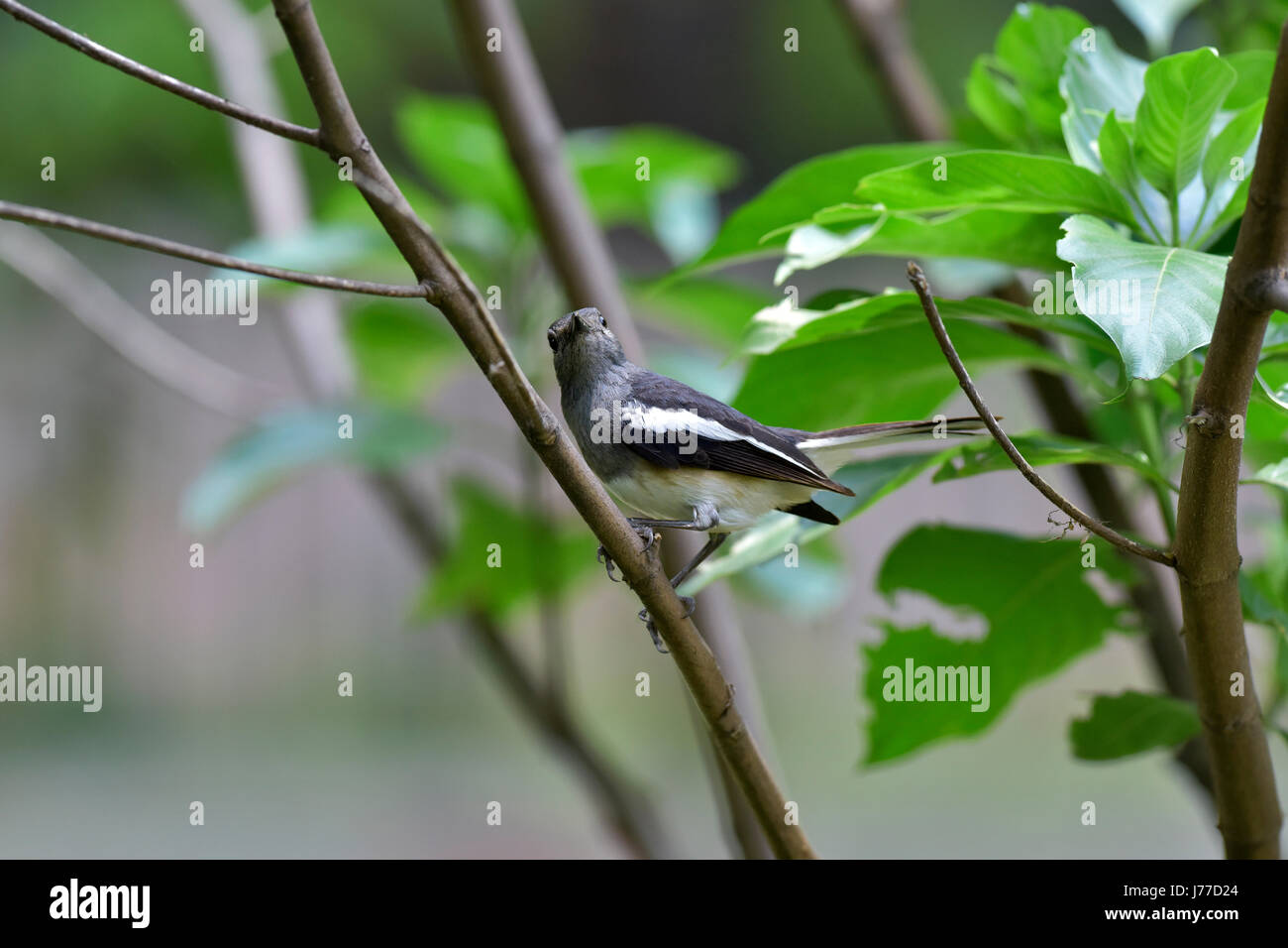 Dhaka, Bangladesh. 23 Mayo, 2017. El oriental Magpie-robin (Copsychus saularis) descansa sobre un árbol en un parque en Dhaka, Bangladesh, 23 de mayo de 2017. El oriental Magpie-robin es ave nacional de Bangladesh y es comúnmente conocido como Doel. El oriental Magpie-robin es una pequeña aves paseriformes que anteriormente fue clasificado como un miembro de la familia Turdidae zorzal, pero ahora se considera un mundo viejo flycatcher. Son característicos los pájaros en blanco y negro con una larga cola que se mantiene recta como forrajea en el suelo o la perca llamativamente. Crédito: SK Hasan Ali/Alamy Live News Foto de stock
