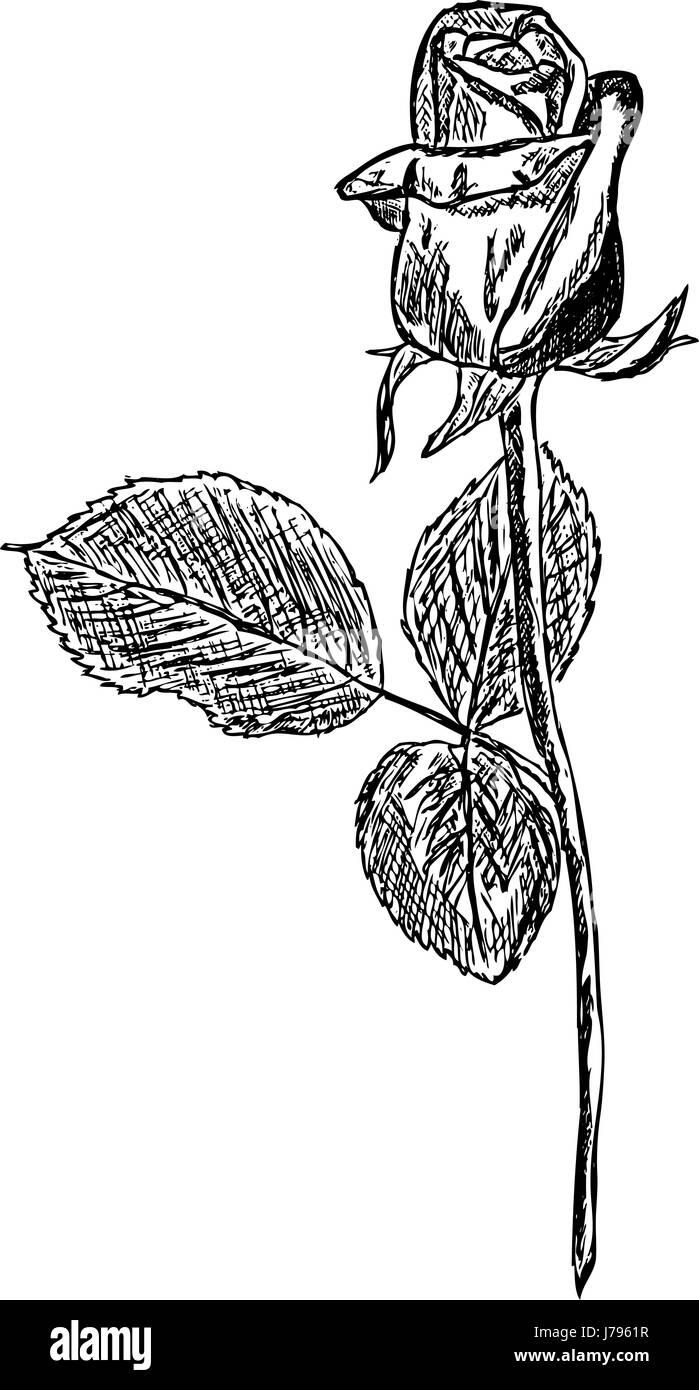 Aislados De Plantas Flor Rosa Color Ilustración Pintura Dibujar