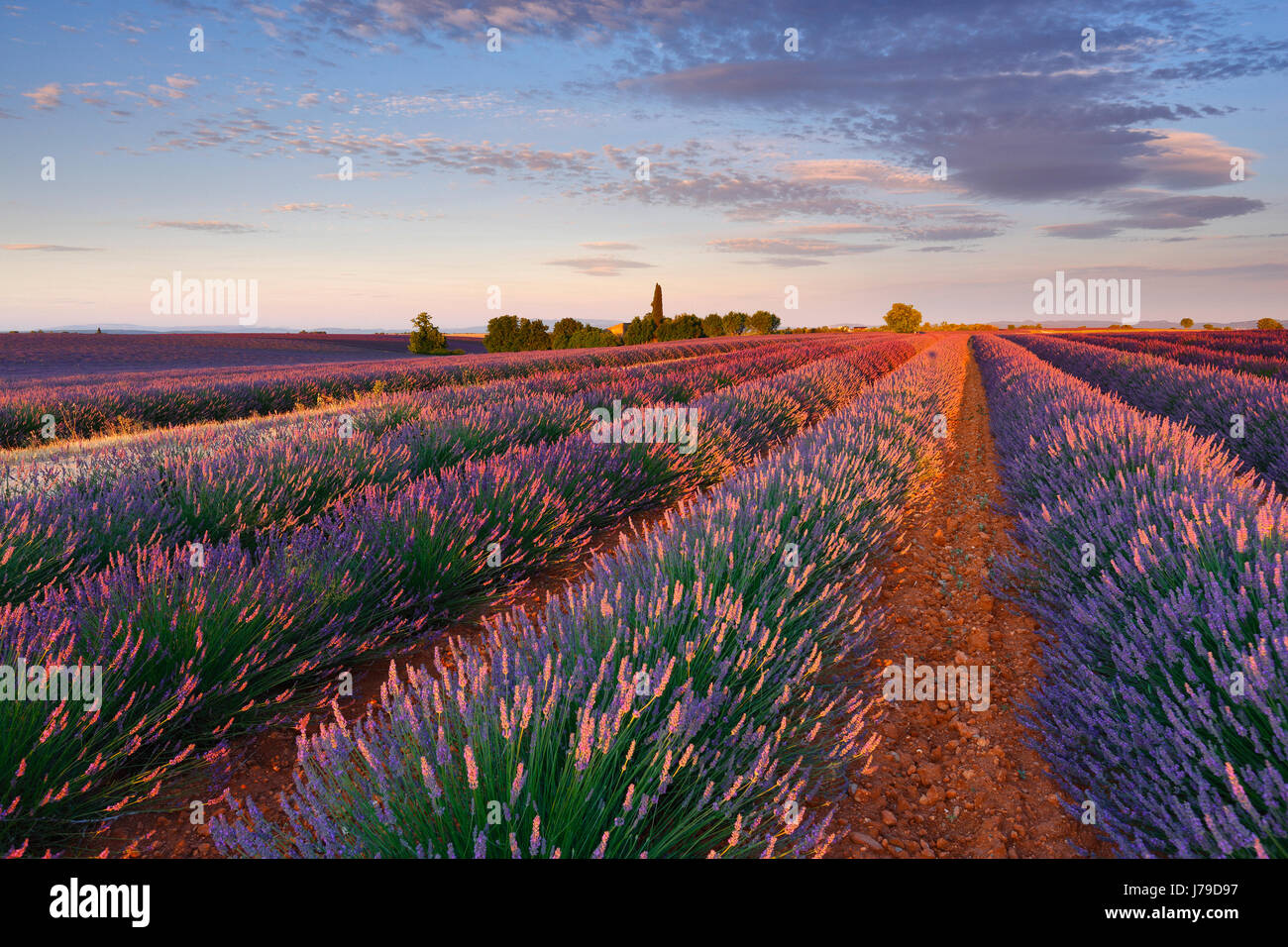 Campo Lavander sunrise Imagen De Stock