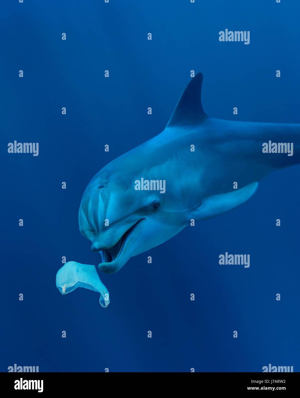 El delfín mular, Tursiops truncatus. Jugando con una bolsa de plástico. Comer una bolsa de plástico. Azores, Portgal Foto de stock