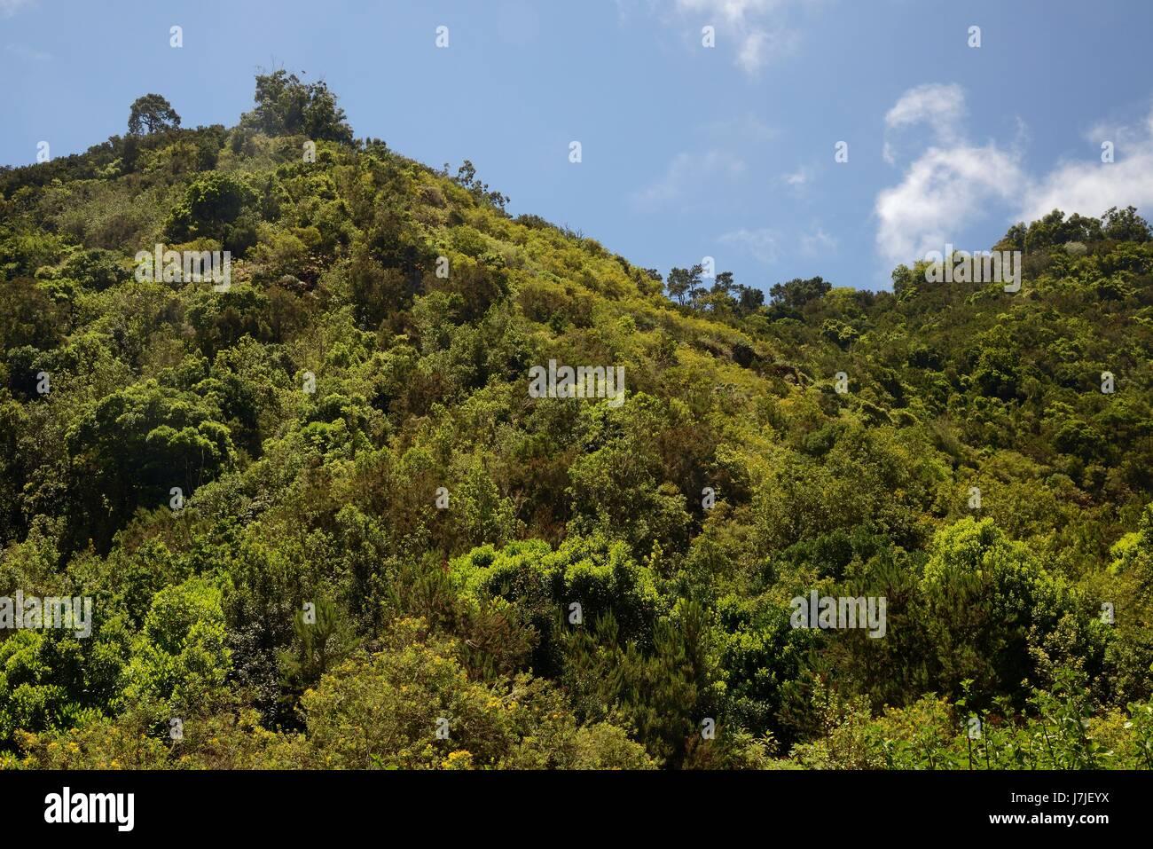 Montano Laurisilva Bosque De Laurisilva Los Tilos De Moya El Parque Rural De Doramas Gran Canaria Islas Canarias Junio De 2016 Fotografia De Stock Alamy