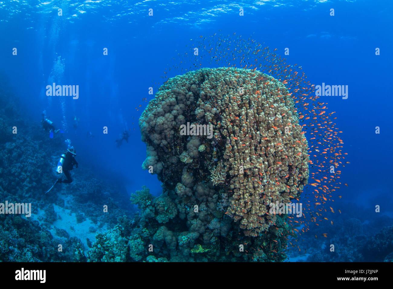 Scuba Diver relojes coloridos peces forma halo alrededor de coral como compañero domo buzos explorar arrecifes agua azul de fondo. Mar Rojo, Egipto Foto de stock