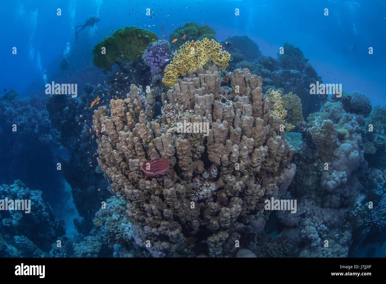 Los buceadores montañosa explorar los magníficos arrecifes de coral en el Mar Rojo. Foto de stock