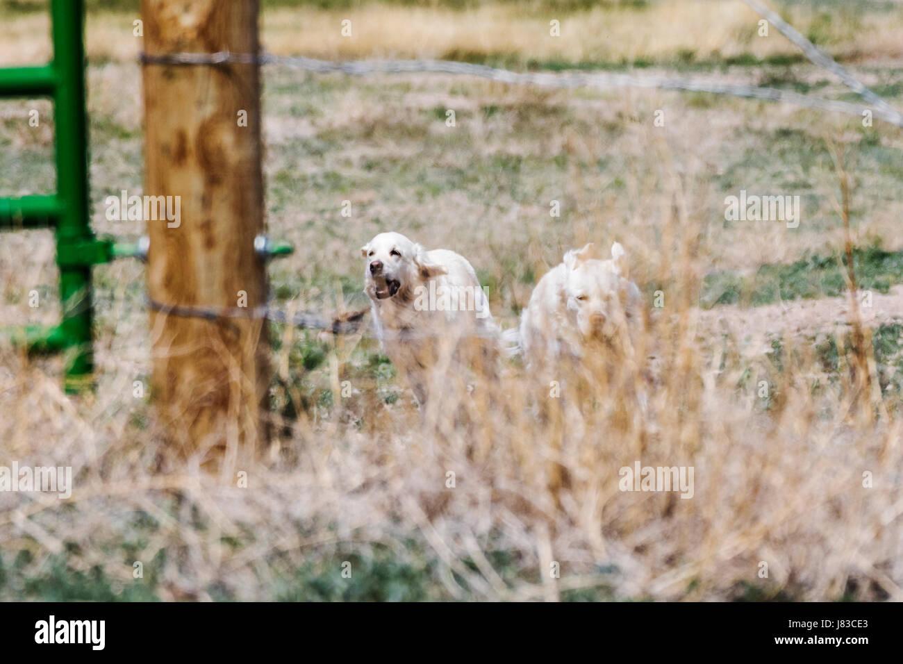 Color platino Golden Retriever perros corriendo en un rancho de Colorado central; EE.UU. Imagen De Stock