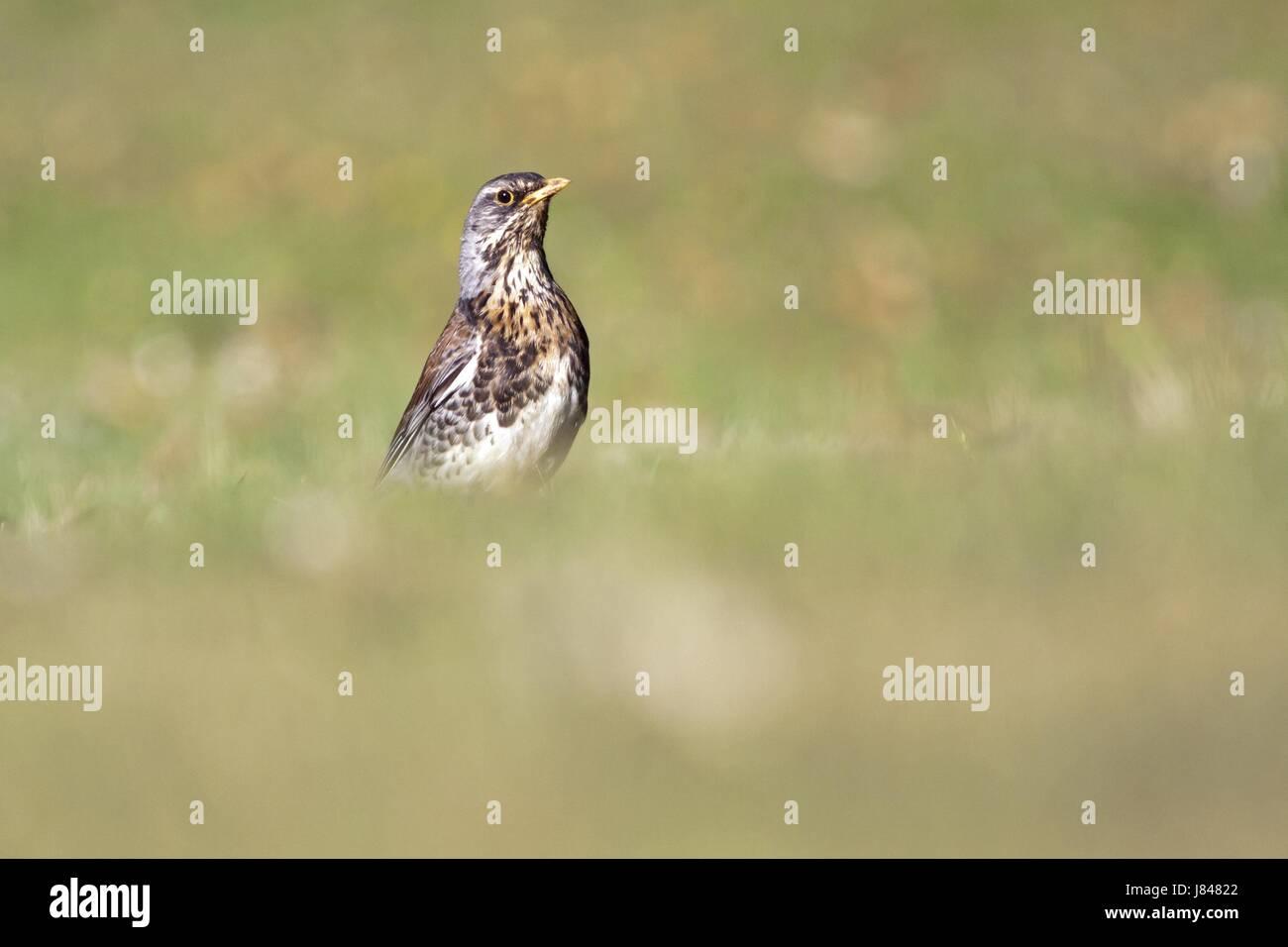 El canto de los pájaros aves-bird bobolinks animales aves aves migratorias mariposa Foto de stock