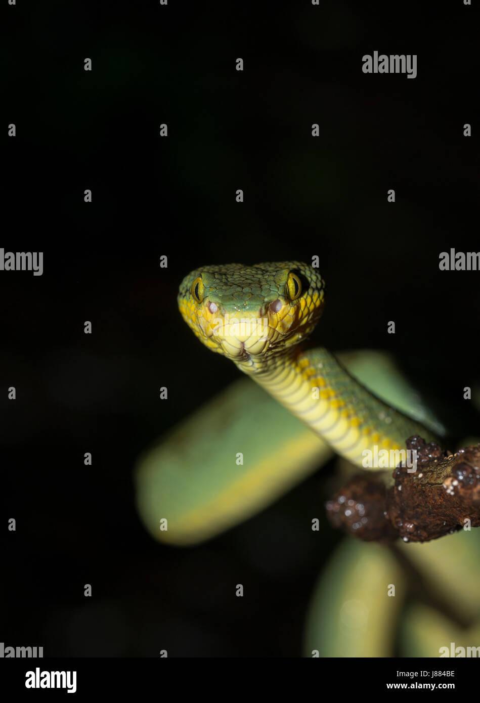 Verde india pit viper Foto de stock