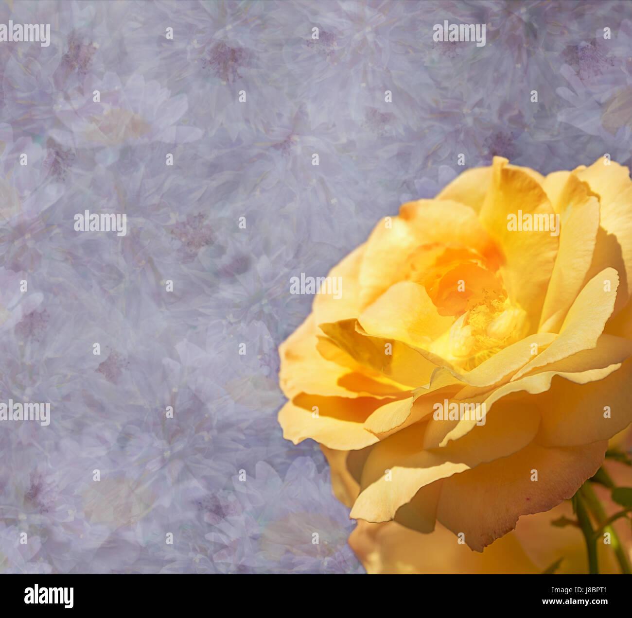 Violeta, lila simpatía florales condolencias tarjeta con fondo rosa amarilla flor Imagen De Stock
