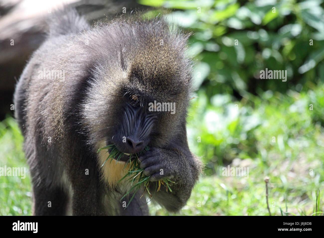 El mono, el babuino, mandril, mamíferos, África, mono, a gorge ...