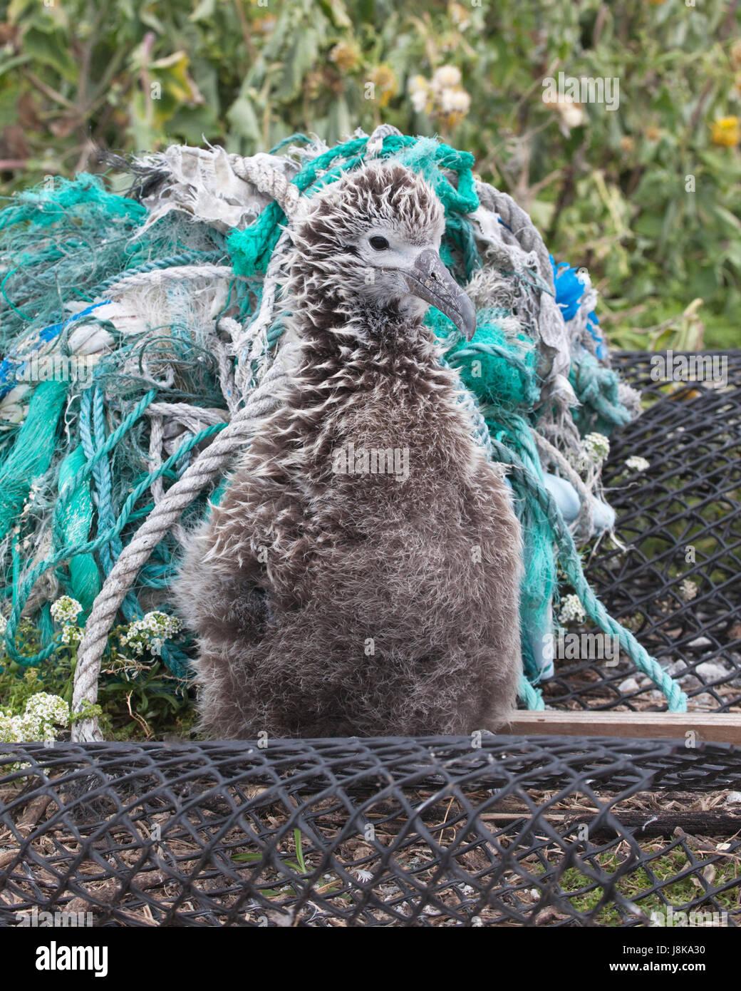 Albatros de Laysan chick y desechos marinos de plástico incluyendo cuerdas y redes fantasma arrastrado en una isla del Pacífico Norte Foto de stock