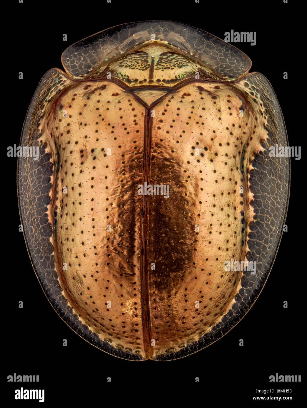 Vista superior de un escarabajo tortuga dorada.El escarabajo de tortuga de oro es una especie de escarabajo en la hoja, de la familia de escarabajos nativos de las Américas Foto de stock