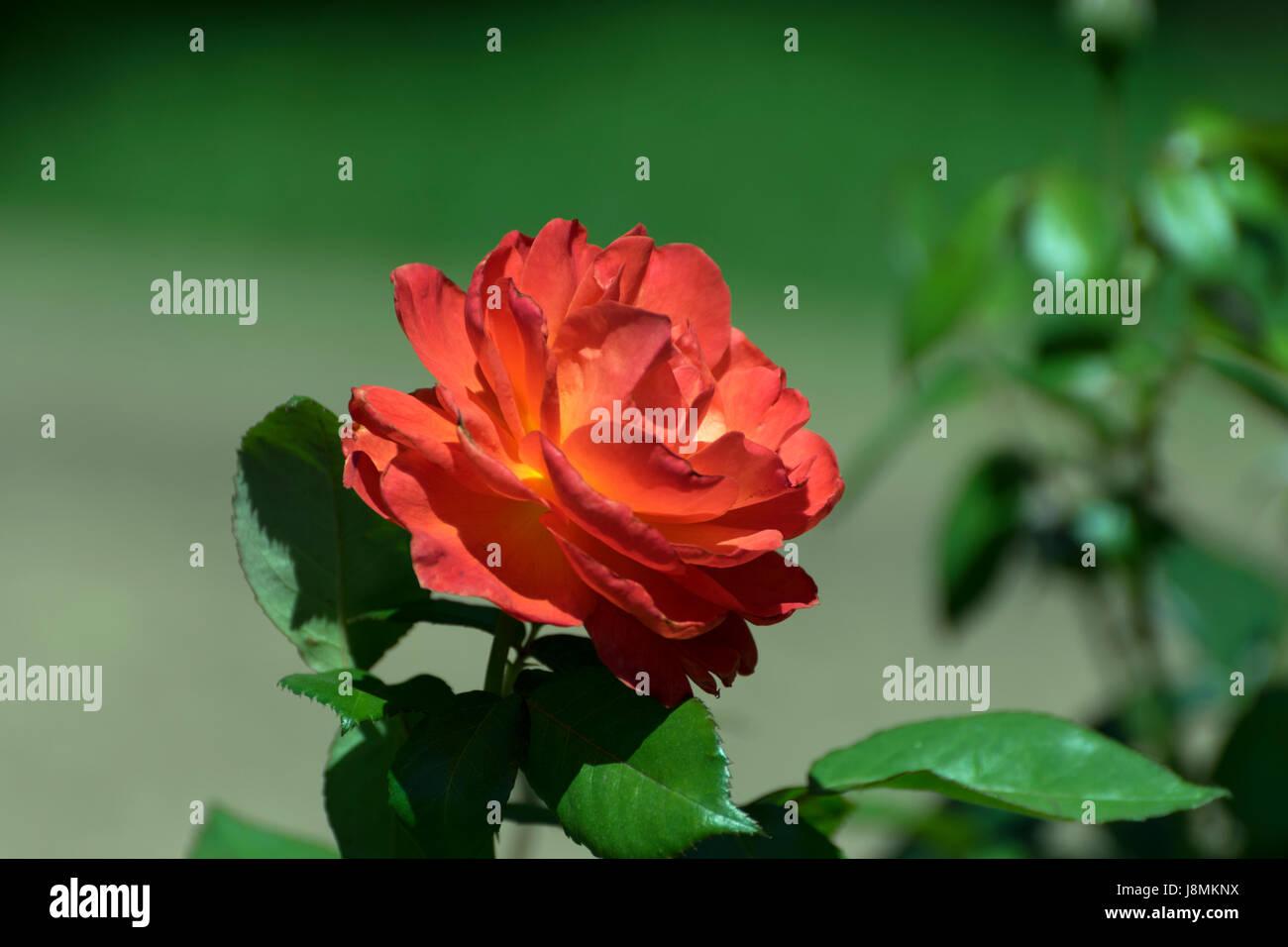 Vista lateral de una hermosa rosa roja y naranja en plena floración ...