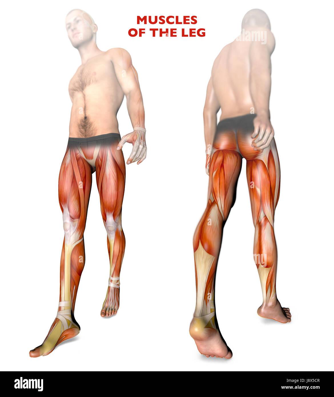 Los músculos de la pierna, el cuerpo humano, la anatomía, el sistema ...