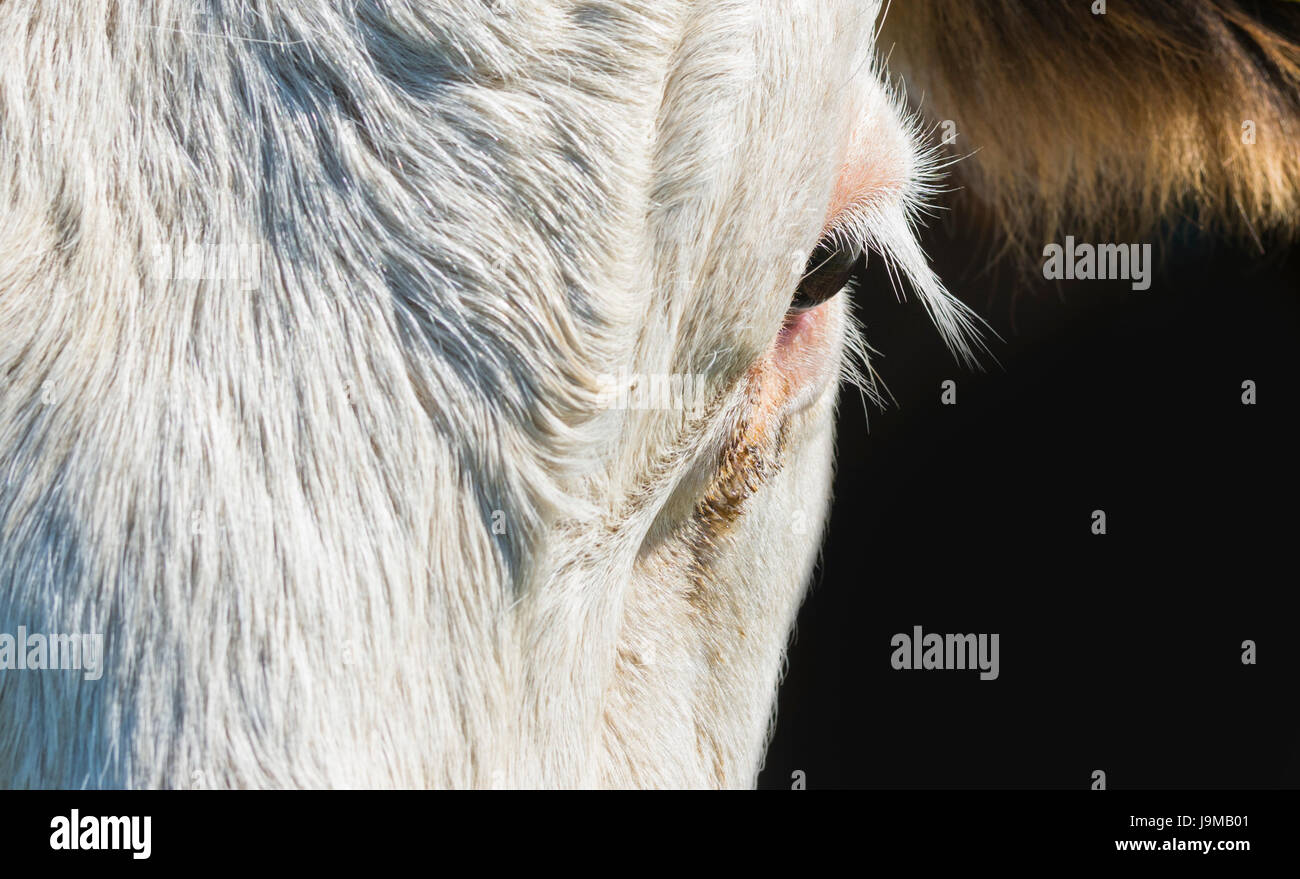 Ojos y pestañas closeup del ojo de una vaca. Foto de stock