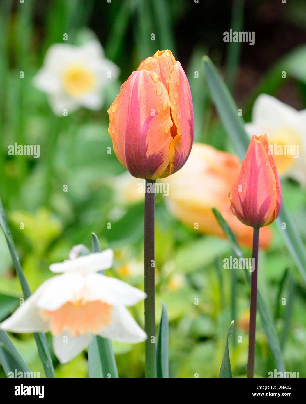 Color Floral exterior macro retrato de dos naranja rojo rosa ...