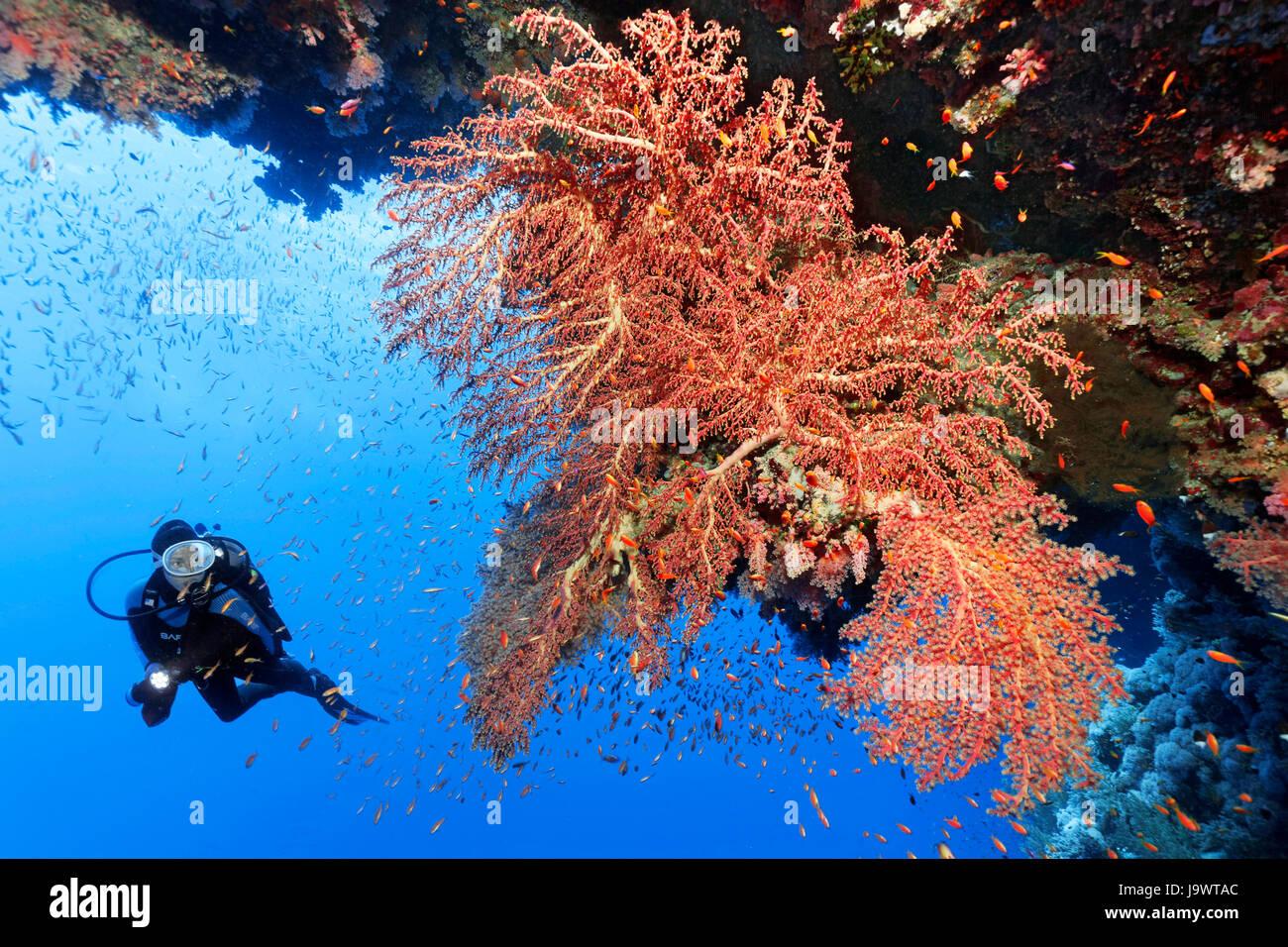 Diver buscar grandes corales blandos (ventilador Siphonogorgia godeffroyi) Mar Rojo, Egipto Imagen De Stock