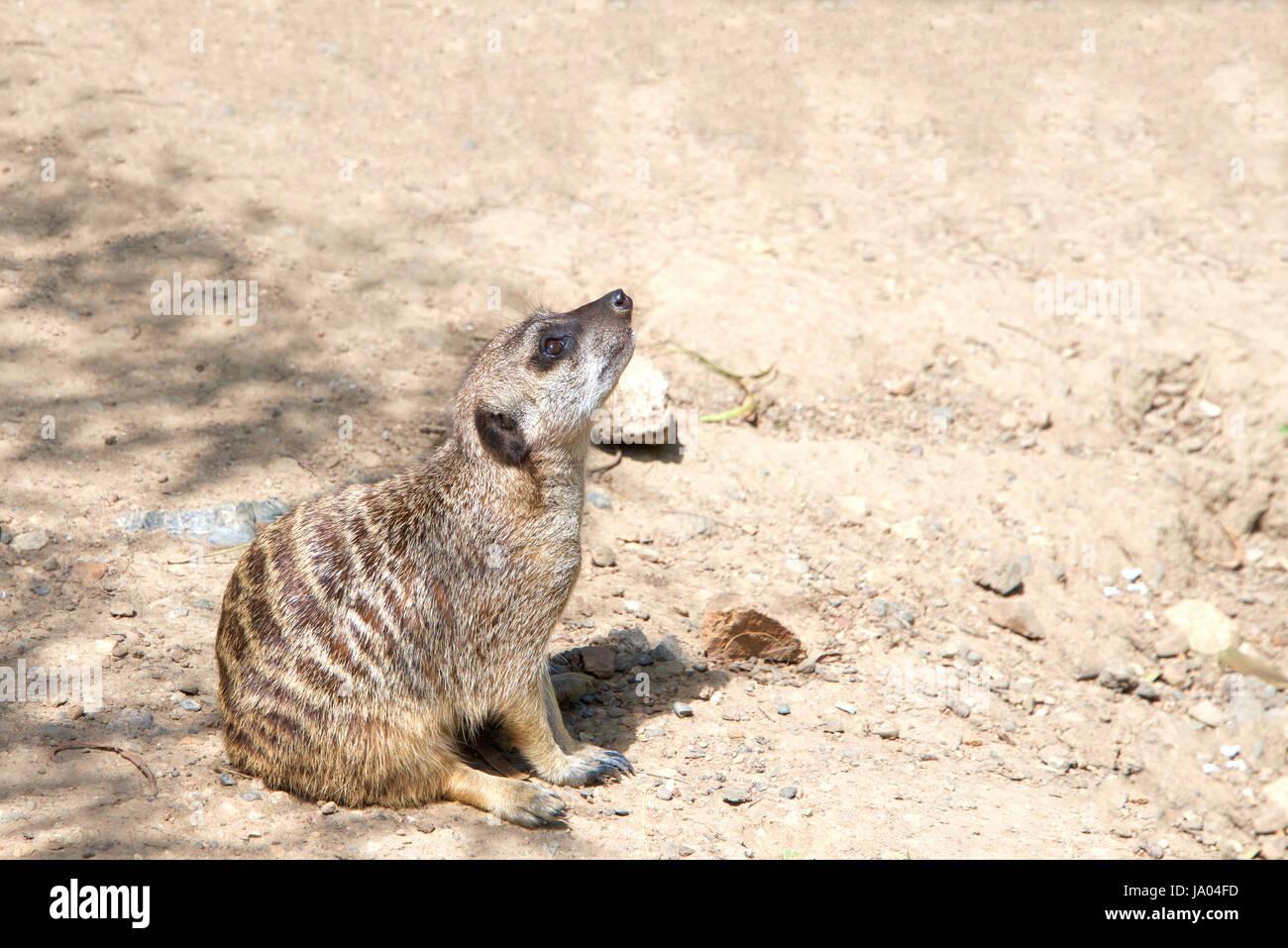 Uno o suricata o Suricata suricatta suricate (), sentarse en el suelo en una posición curiosa mirando a los Imagen De Stock
