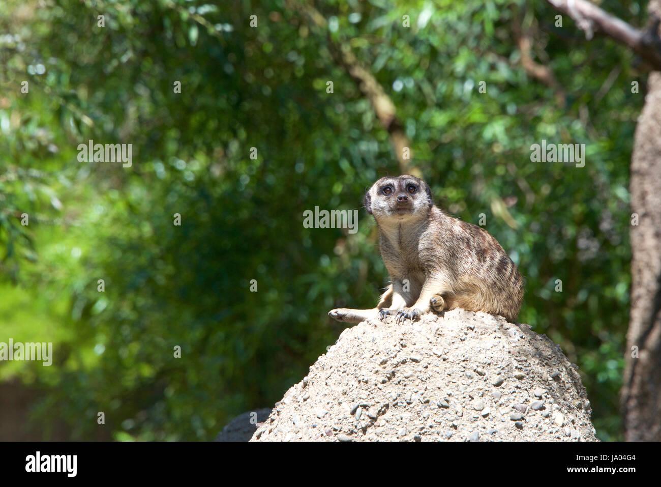 Uno o suricata o Suricata suricatta suricate (), sentada sobre una colina rocosa en busca del peligro. Los espectadores, Imagen De Stock