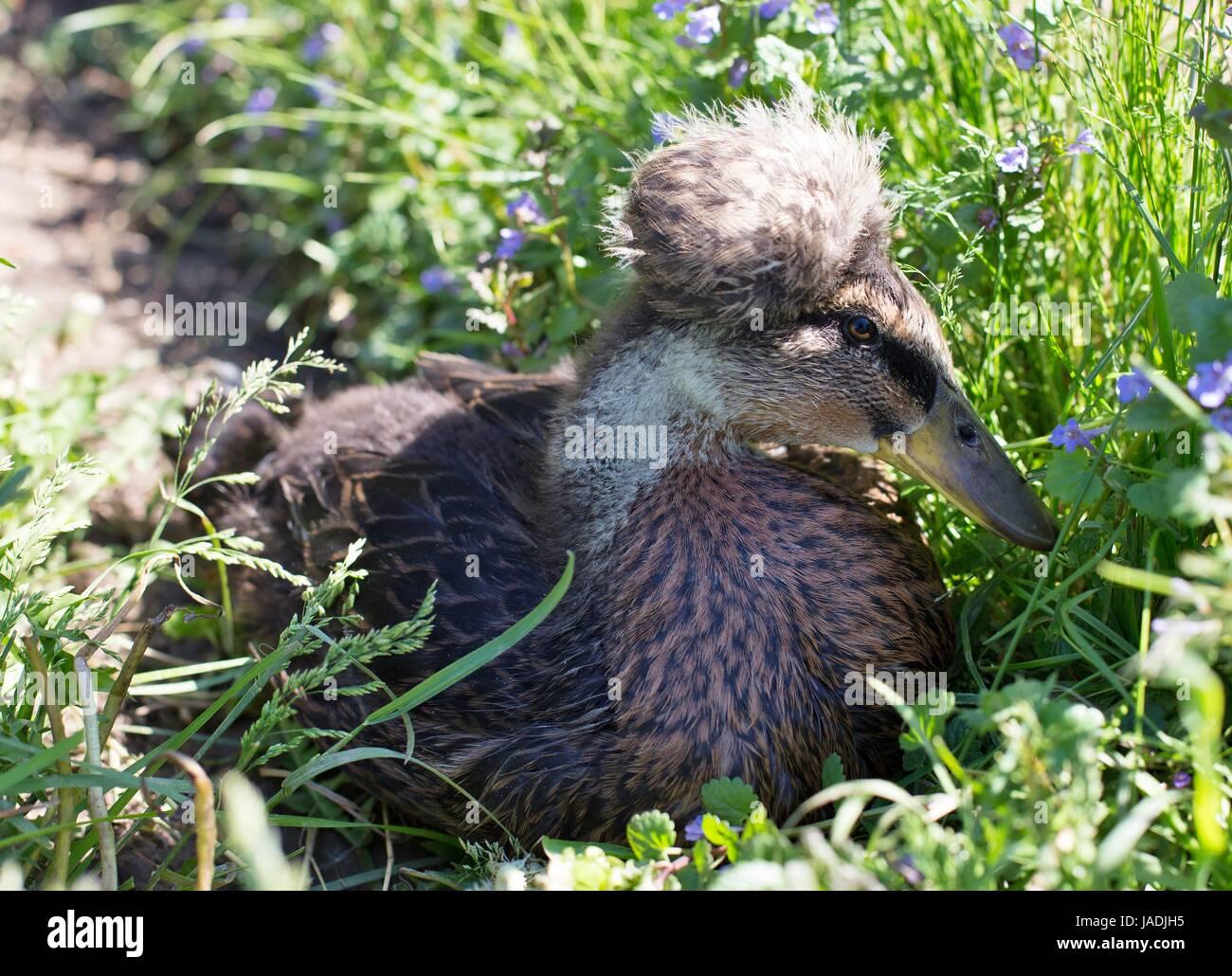 Un pato con una cabeza borrosa descansando en la hierba. Imagen De Stock