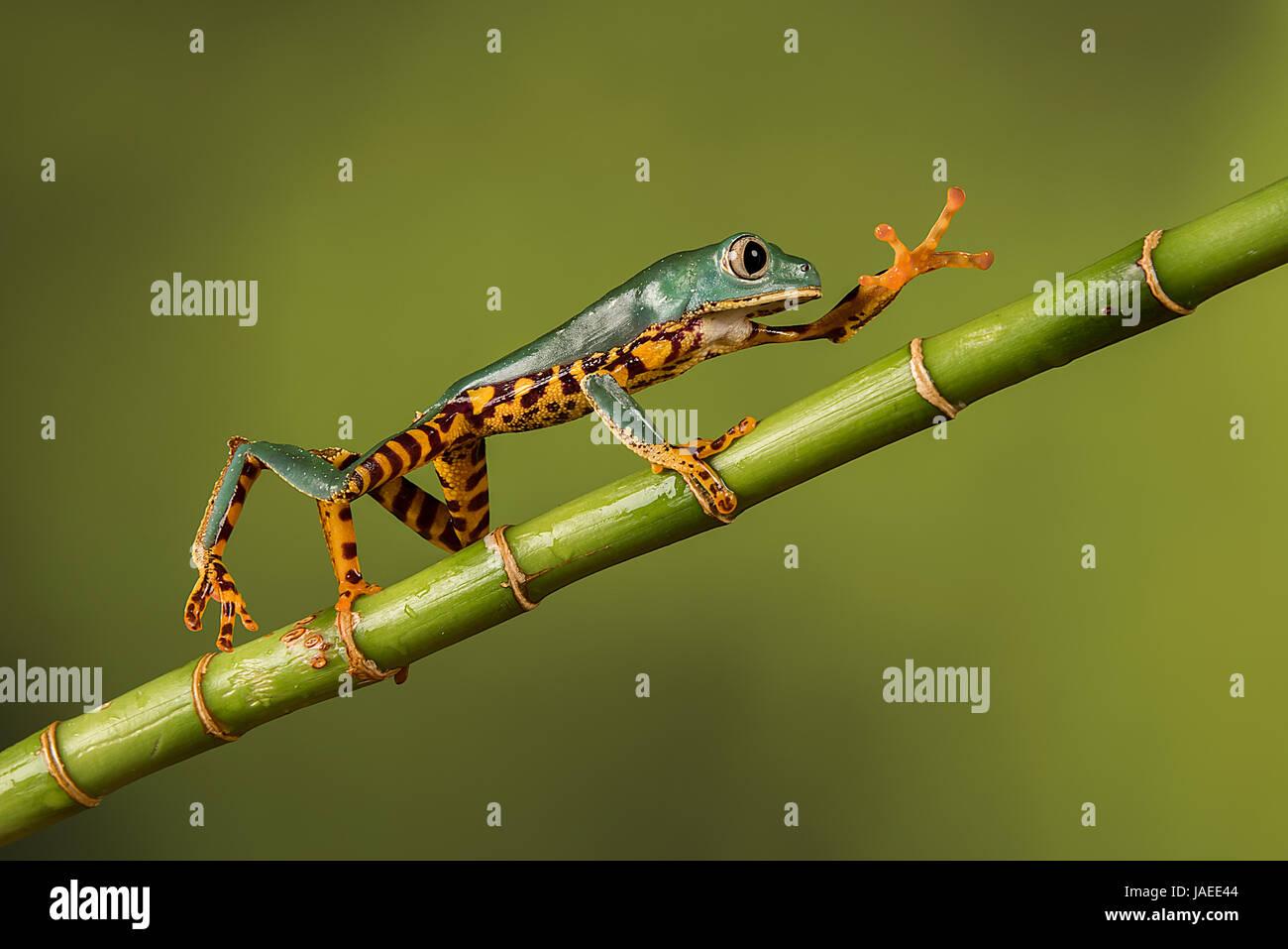 Pierna Tigre Super Monkey Tree Frog Imagen De Stock