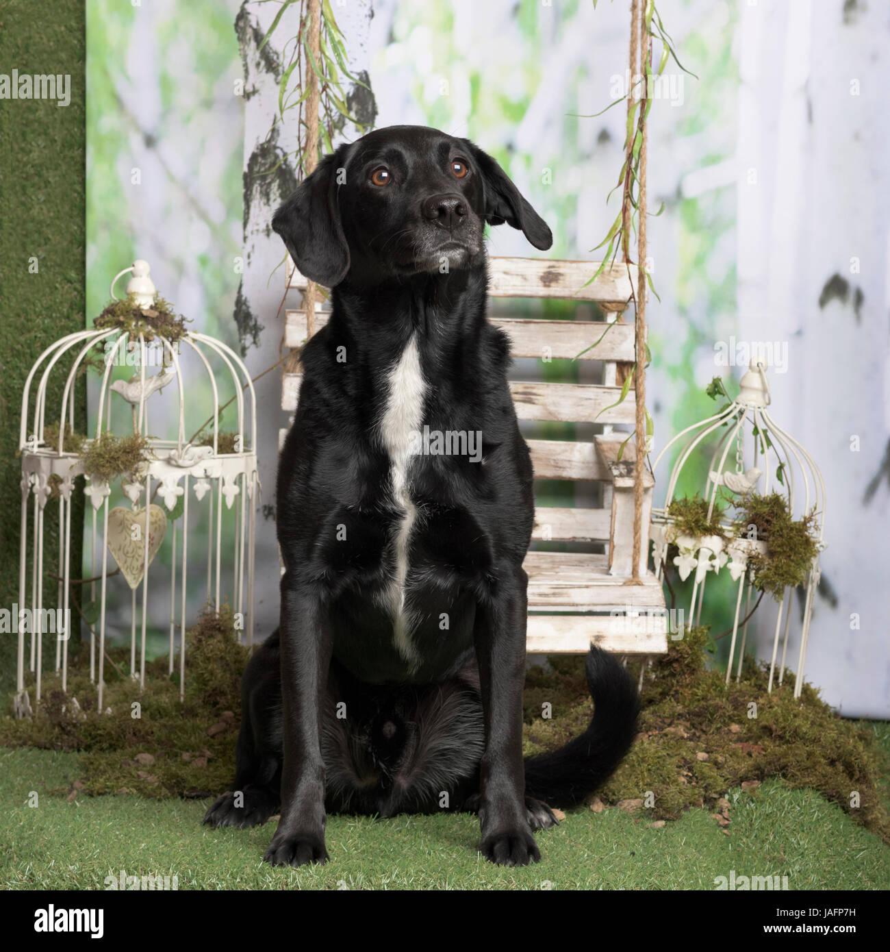 Cruz Negra-raza de perro sentado, pastoral en la decoración Foto de stock