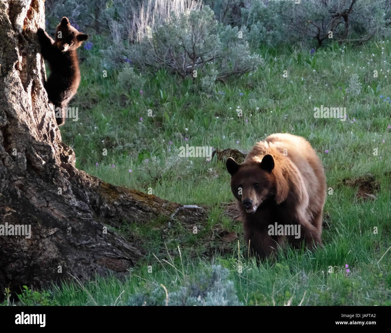 Hembra de oso negro americano sembrar con el bebé cachorros en el Parque Nacional Yellowstone, Wyoming Imagen De Stock