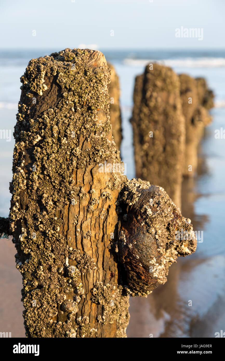 Groynes en la playa de Sandsend en la costa de North Yorkshire Inglaterra Foto de stock