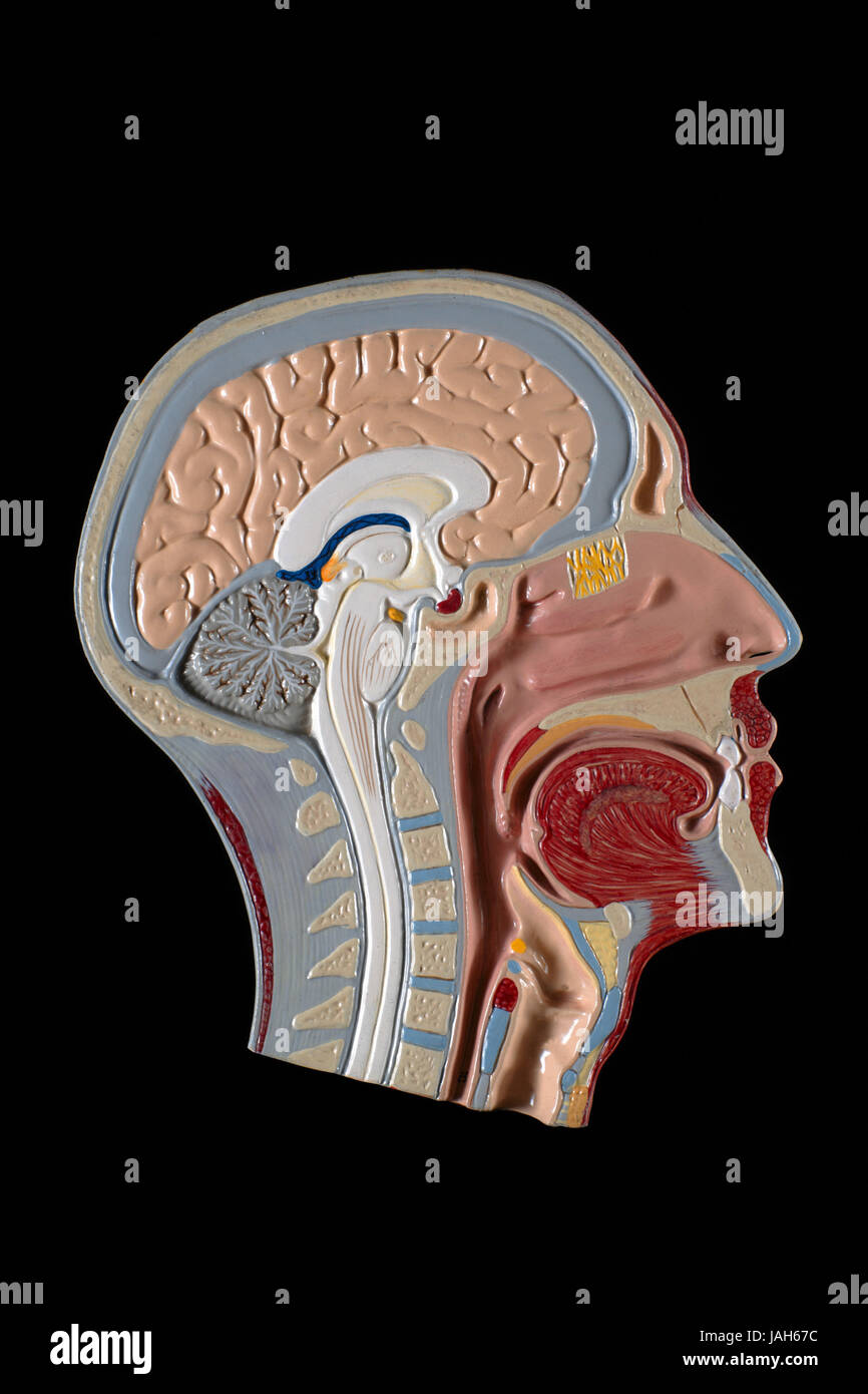 Modelo anatómico de cabeza humana, Imagen De Stock