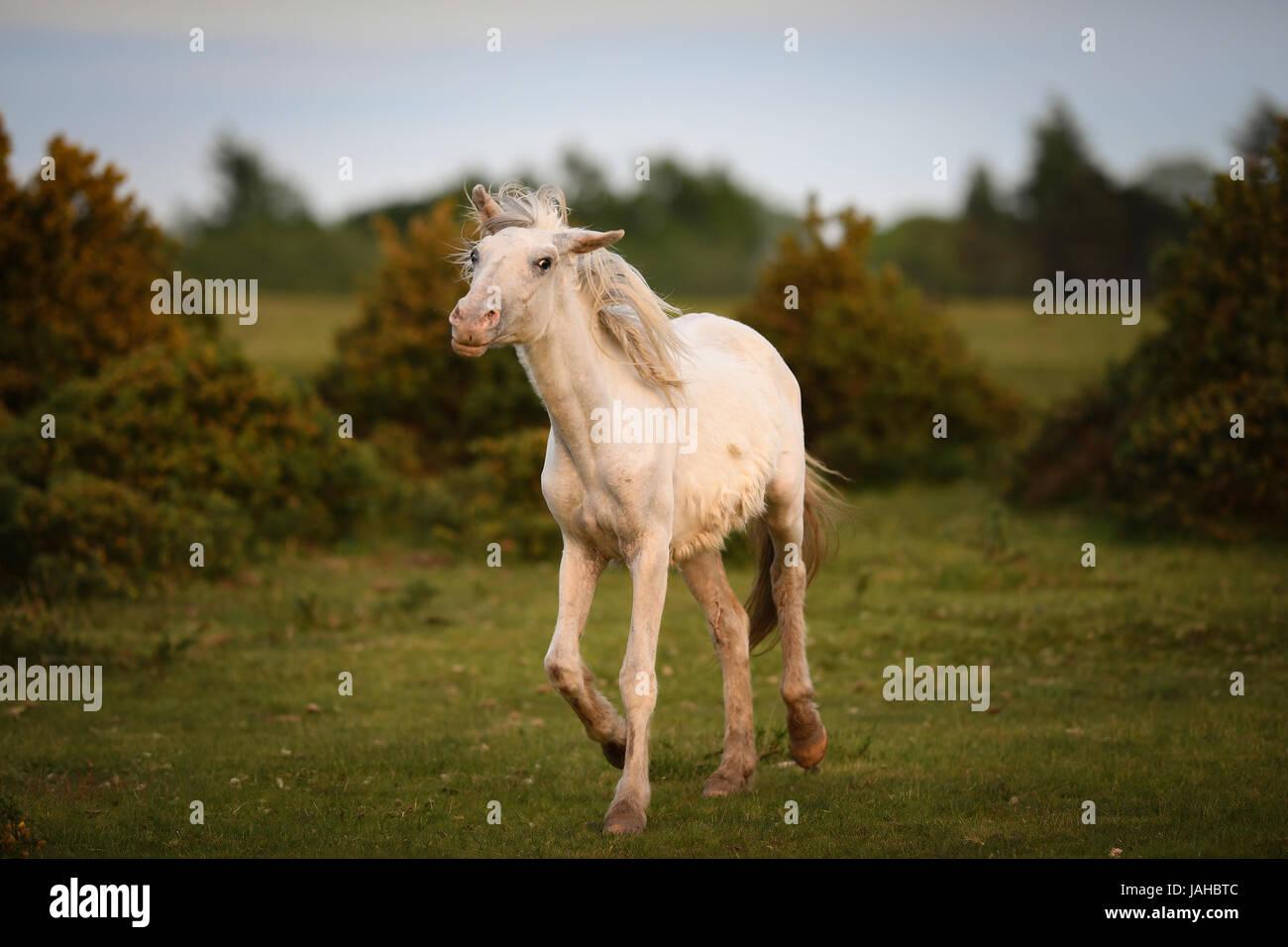 Nuevo bosque salvaje ponis galopar a través de tojo arbustos Foto de stock