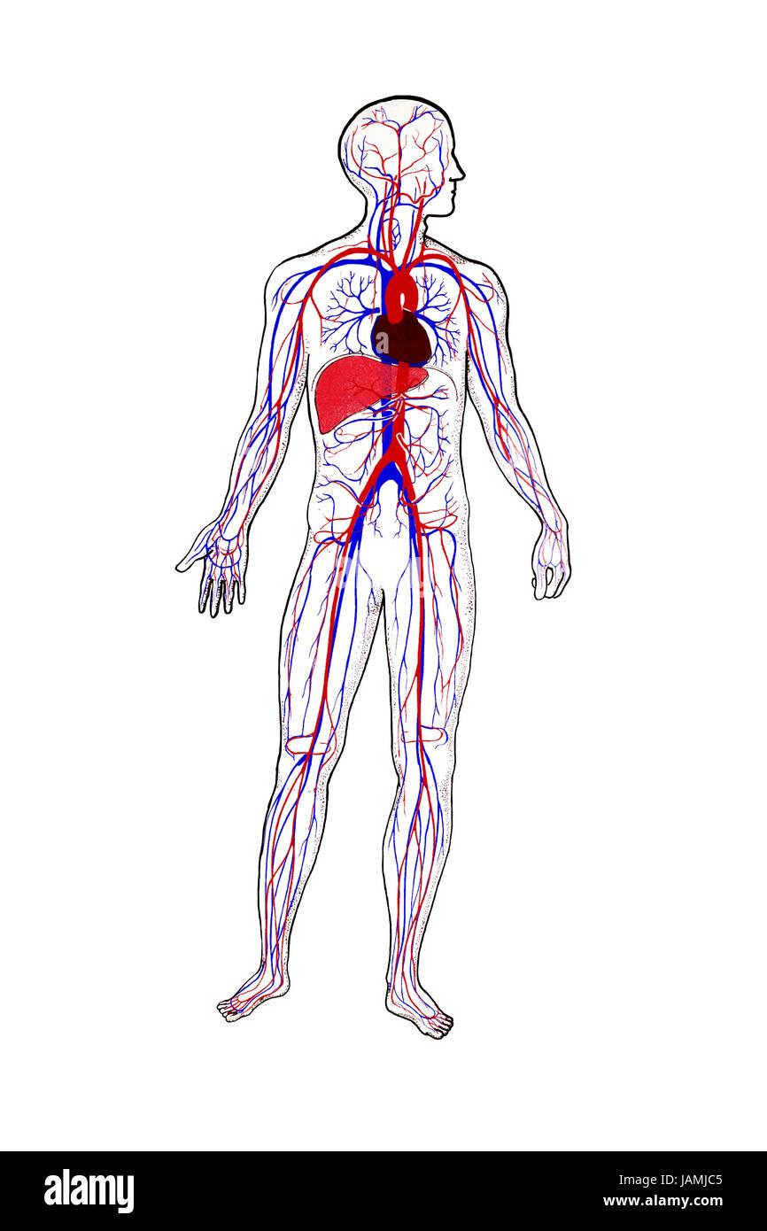 Representación anatómica, la circulación de la sangre humana Foto ...