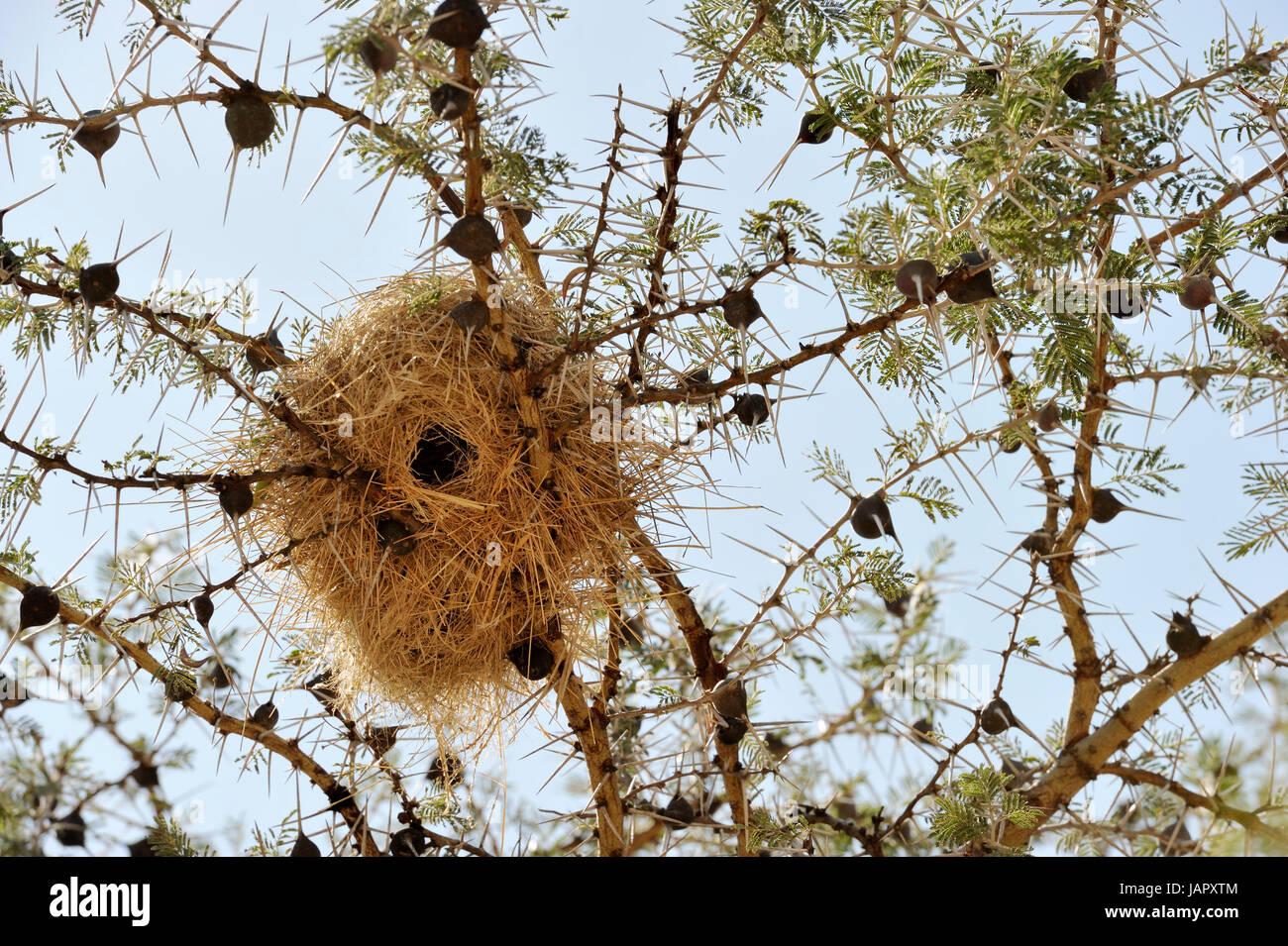 Silbido espinos (Acacia acacia drepanolobium) cerrar con wevers birdnest, típico para el corredor occidental Imagen De Stock