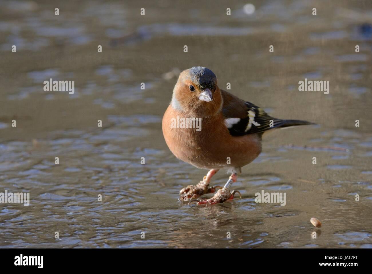 "Pinzón (Fringilla coelebs macho) sobre hielo permanente con ""Bumblefoot"" o ""pierna caly' Imagen De Stock"