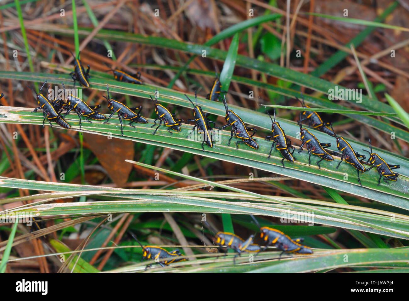 Lubbers estuvo ninfas, saltamontes Romalia guttata, emerge de la tierra en grandes grupos. Imagen De Stock