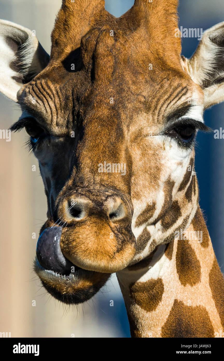 Una jirafa usando su larga lengua para lamer y limpiar sus fosas nasales. Imagen De Stock
