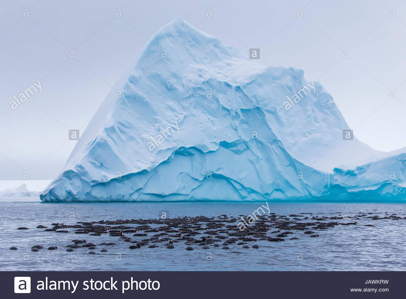 Los pingüinos Gentoo y caza buscando krill para comer cerca de Isla Booth. Imagen De Stock